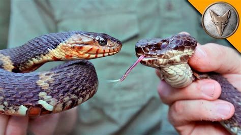 Cottonmouth Vs Water Snake | Q8 ALL IN ONE - The Blog