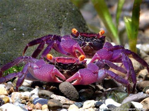 geosesarma sp crabe