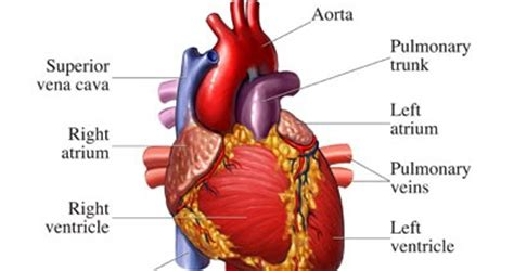 Attack Plus Softener 1200 Gram anatomi jantung