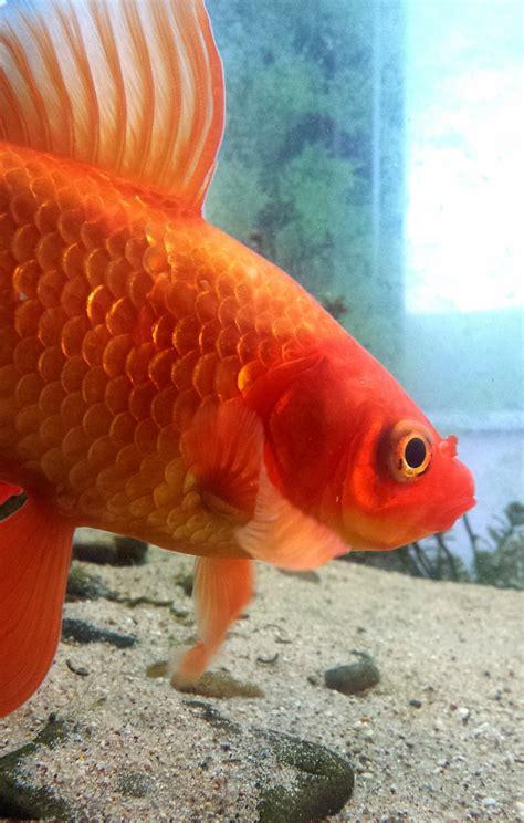 complete goldfish care guide  aquarium club