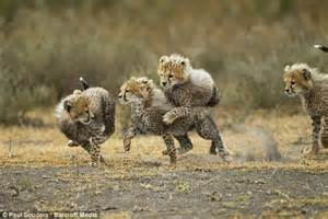Heartwarming pictures of cheetah cubs playing in Tanzania ...