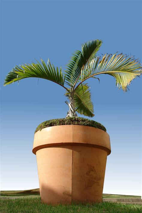 palmier en pot pour balcon palmier pour balcon