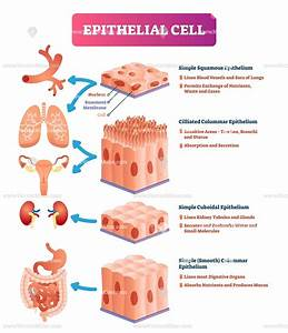 Epithelial Cells Anatomical Vector Illustration