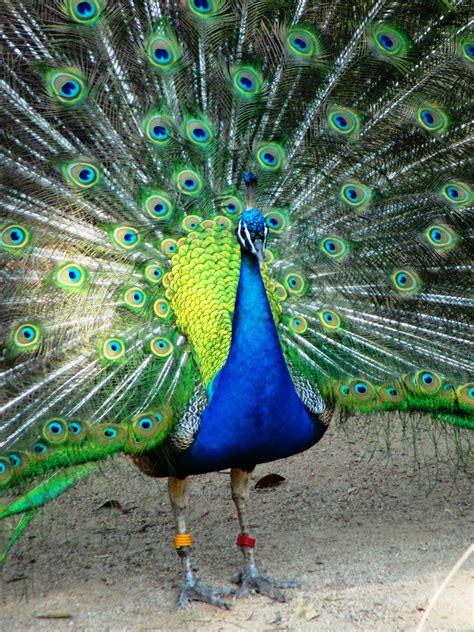 Peacock  Braman's Wanderings  Page 2