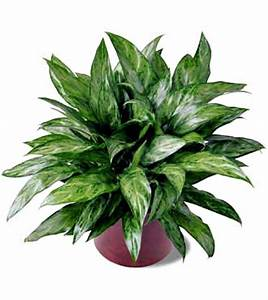 10 Houseplants that Clean the Air - Page 8 of 11 - Sand