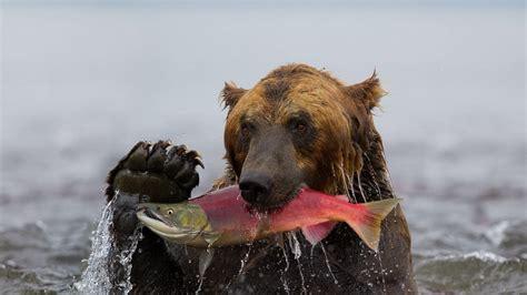 full hd wallpaper bear fish claw river desktop