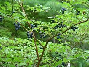 Vaccinium corymbosum (highbush blueberry): Go Botany