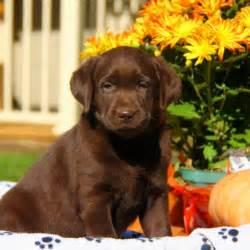 Labrador Retriever Chocolate Lab Puppies