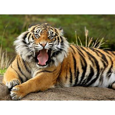 Bengal TigerAnimal Wildlife