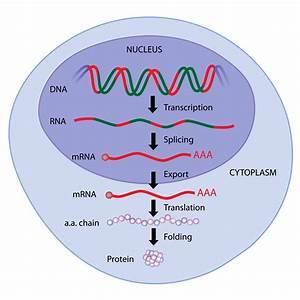 Regulation Of Gene Expression In Eukaryotes
