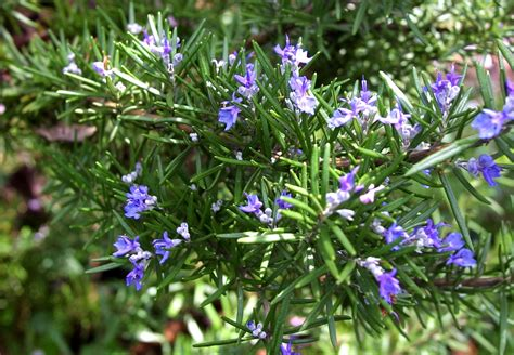 rosemary plant picture 23 fun facts about rosemary plants top food facts