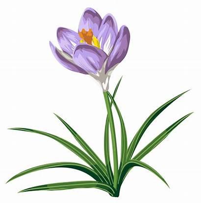 Crocus Transparent Clip Clipart Flower Cliparts Crocuses