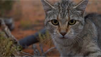 ferrel cat new research feral cats now cover 99 8 percent of