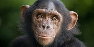 Chimpanzees Sue For Their Freedom (With A Little Human Help)