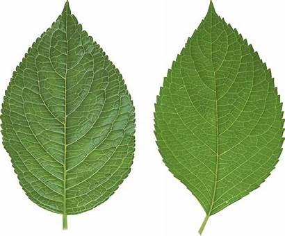 Leaf Leaves Clipart Elm Transparent Cliparts Clip