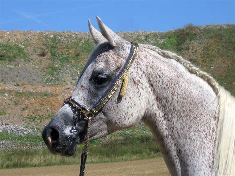 Grey Arabian Horse