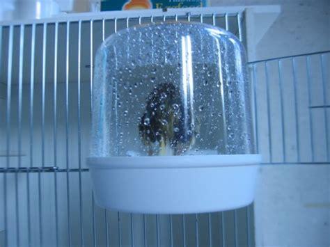 le bain pour garantir un plumage soign 233 au paradis des