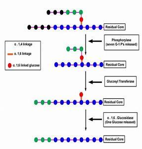 Case study- Glycogen storage disease – Biochemistry for ...