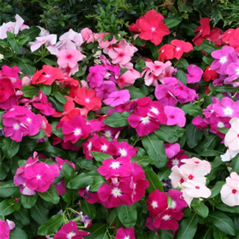 growing vinca from seed vinca periwinkle seeds from around the world