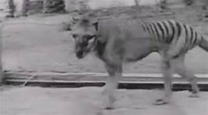 "Scientists Launch Search for Tasmanian Tigers ""Thylacines ..."