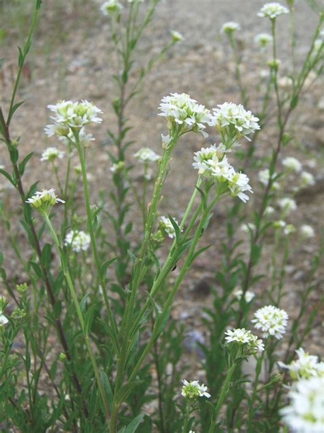 hoary alyssum invasive ontario plants species wild wisconsin flowers medicinal herbs animals compost bc wildlife wildflowers fish fungi insects visit