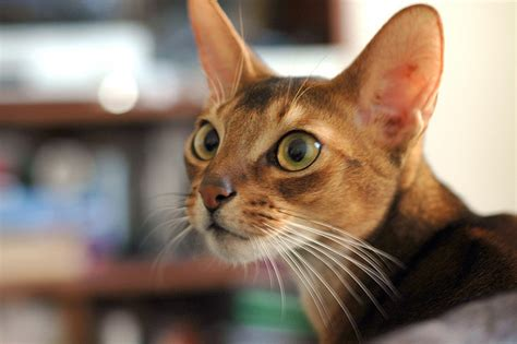 Abyssinian Cat Breed Profile
