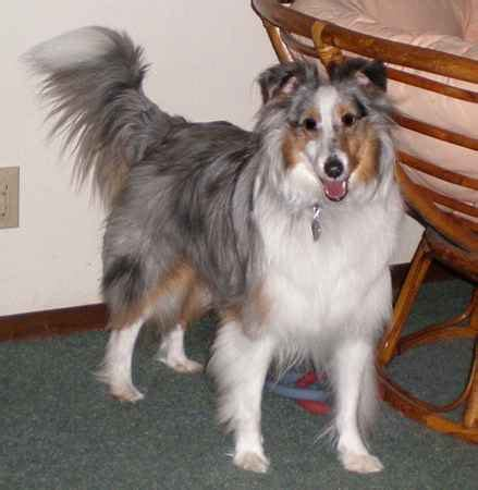 sheltie shedding puppy coat shetland sheepdog grooming caring for your sheltie
