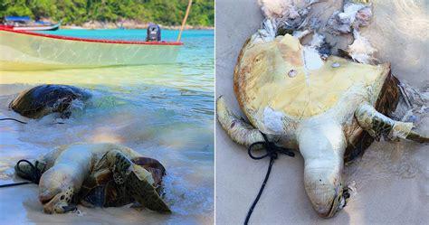 Boat Propeller Malaysia by Two Turtles Found Dead In Pulau Perhentian Possibly
