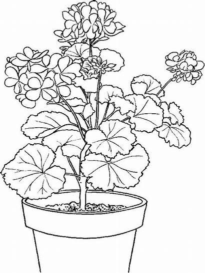 Coloring Pages Geranium Giyu Colorear Para Flower