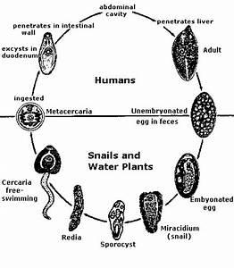 LIFE CYCLE OF FASCIOLA HEPATICA
