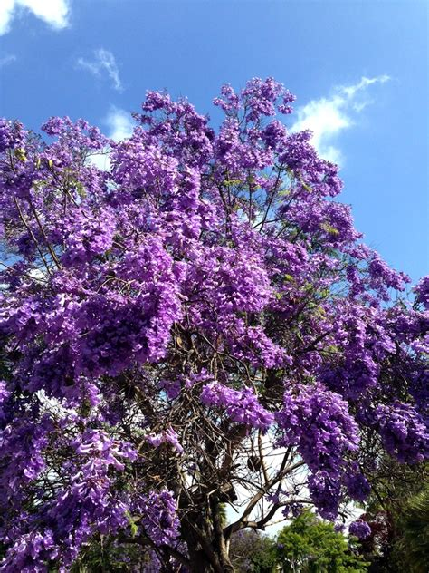 purple trees name 6 things i m loving about san diego right now my socal d life