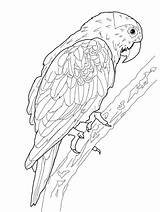Parrot Coloring Printable sketch template