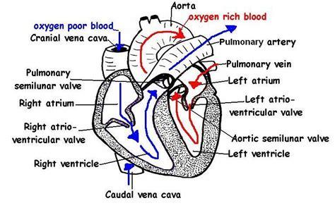 Heart Labelled Diagram  Diabetes Inc