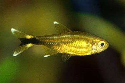 hasemania nana silvertip tetra  fish