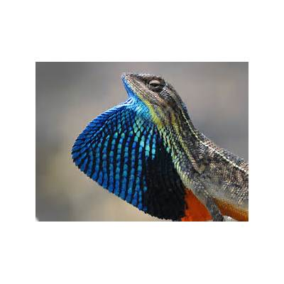 Fan Throated Lizard (Sitana ponticeriana) by Dr. Akash Akinwar - YouTube