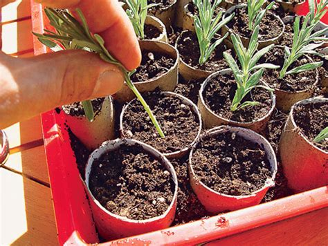 lavendel vermehren pflanzen saeen pikieren selbstde