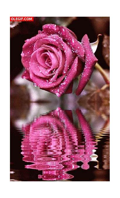 Rose Roses Rosas Animation Rosa Flores Flowers
