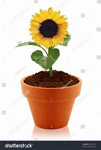 Sunflower Clay Pot Isolated On White Stock Photo 99494921 ...