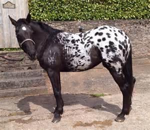 Black Leopard Appaloosa for Sale