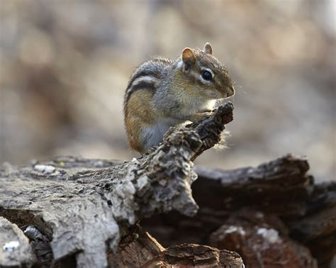 chipmunk repellent chipmunk control related keywords suggestions chipmunk control long tail keywords