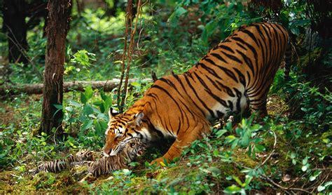 conserving acres  tigers discovery projectcat