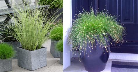grasses for pots best ornamental grasses for containers growing ornamental grass