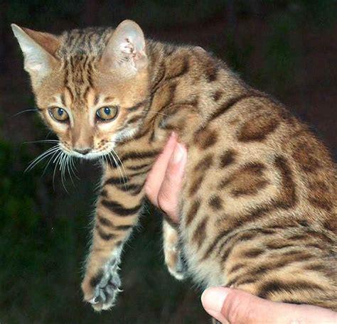 bengals colors colors of the bengal cat