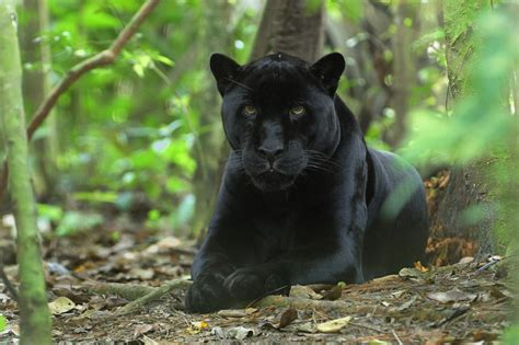 Isuzu Panther Hd Picture by Panther Animal Facts And Free Images Wallpapers
