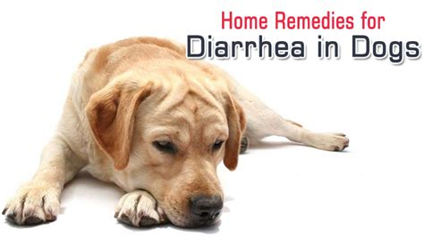 puppy diarrhea can diarrhea in dogs be treated with a home remedy