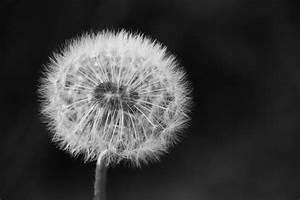 Bild Pusteblume Schwarz Weiß : bild pusteblume schwarz wei top trichini makro holz aufnahme pusteblume schwarz with bild ~ Bigdaddyawards.com Haus und Dekorationen