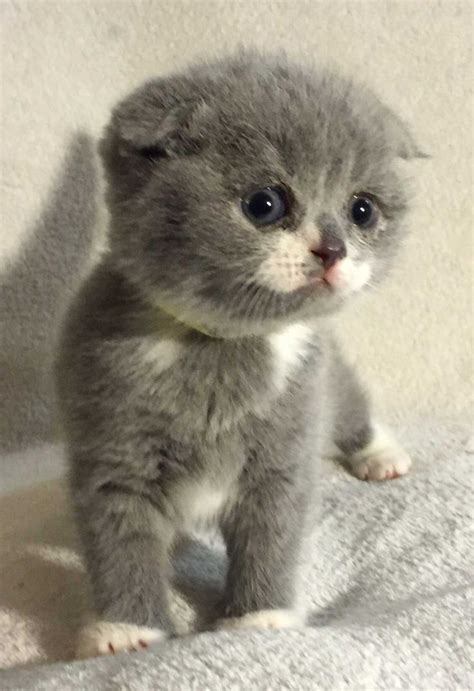 Kitten For Sale by 17 Best Ideas About Munchkin Kittens For Sale On