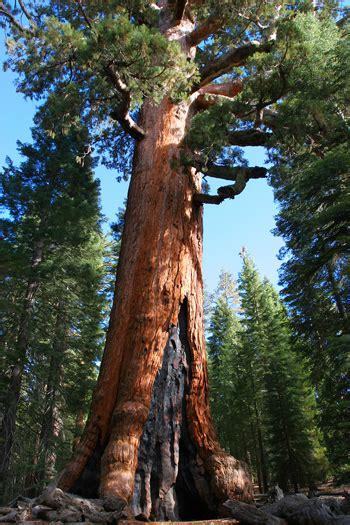 yosemite big treesthe giant sequoia   largest