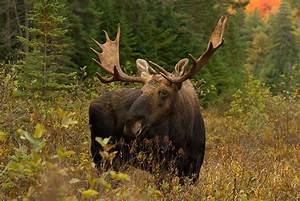 Autumn Bull Moose Animal | Your Stuff Work
