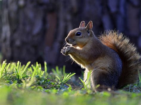Mobile Animal Wallpaper - animals squirrel hd wallpapers for mobile phones and